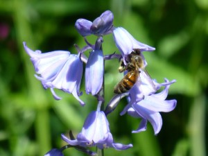 bee on bluebell