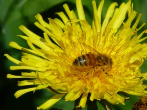 Bee covered in dandelion pollen